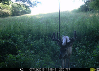Whitetail Trailcam Pic